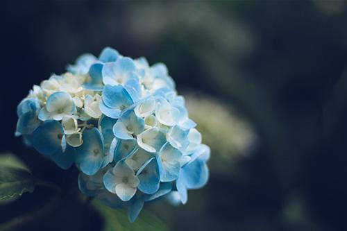 『紫陽花』のフリー写真画像[ID:246]