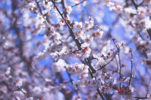 『梅』のフリー写真画像[ID:2464]