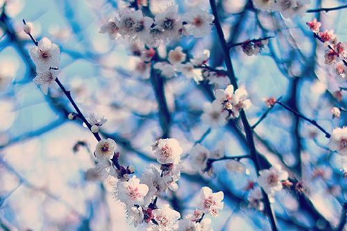 『梅』のフリー写真画像[ID:2482]