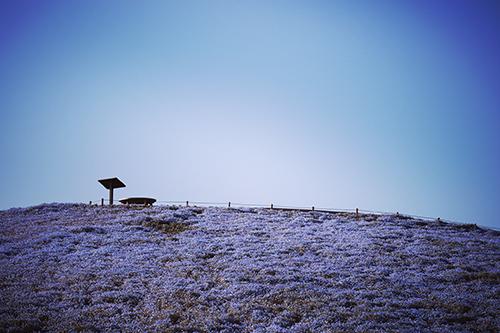 『ネモフィラ』のフリー写真画像[ID:2975]