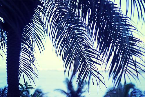 『ヤシの木』のフリー写真画像[ID:3581]