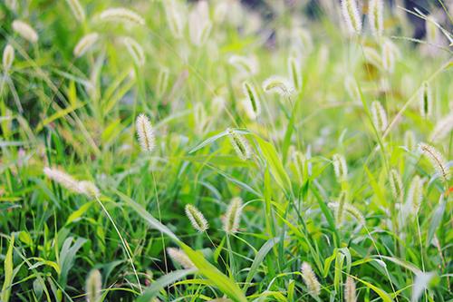 『ねこじゃらし』のフリー写真画像[ID:4122]