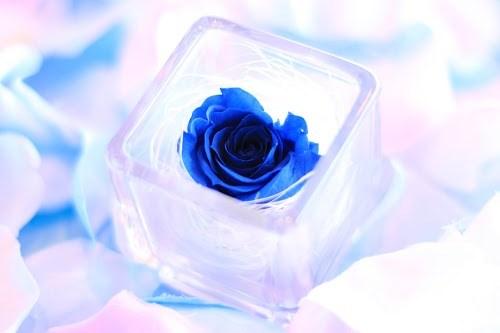 『薔薇』のフリー写真画像[ID:5252]