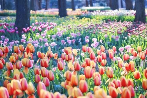 『花畑』のフリー写真画像[ID:5313]