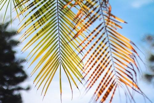 『ヤシの木』のフリー写真画像[ID:6242]