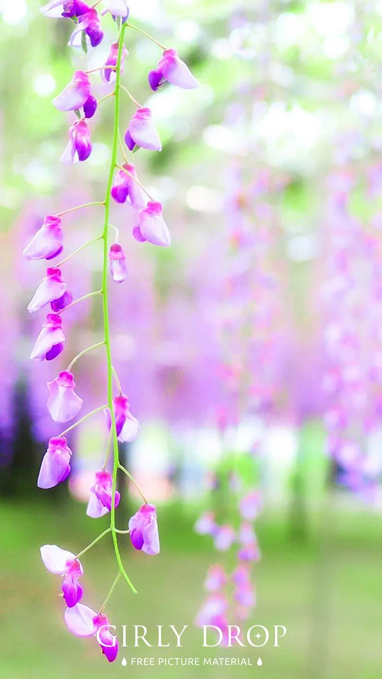 おしゃれなiphone壁紙 美しい紫の花が垂れ下がる藤棚のiphone スマホ 壁紙 おしゃれなフリー写真素材 Girly Drop