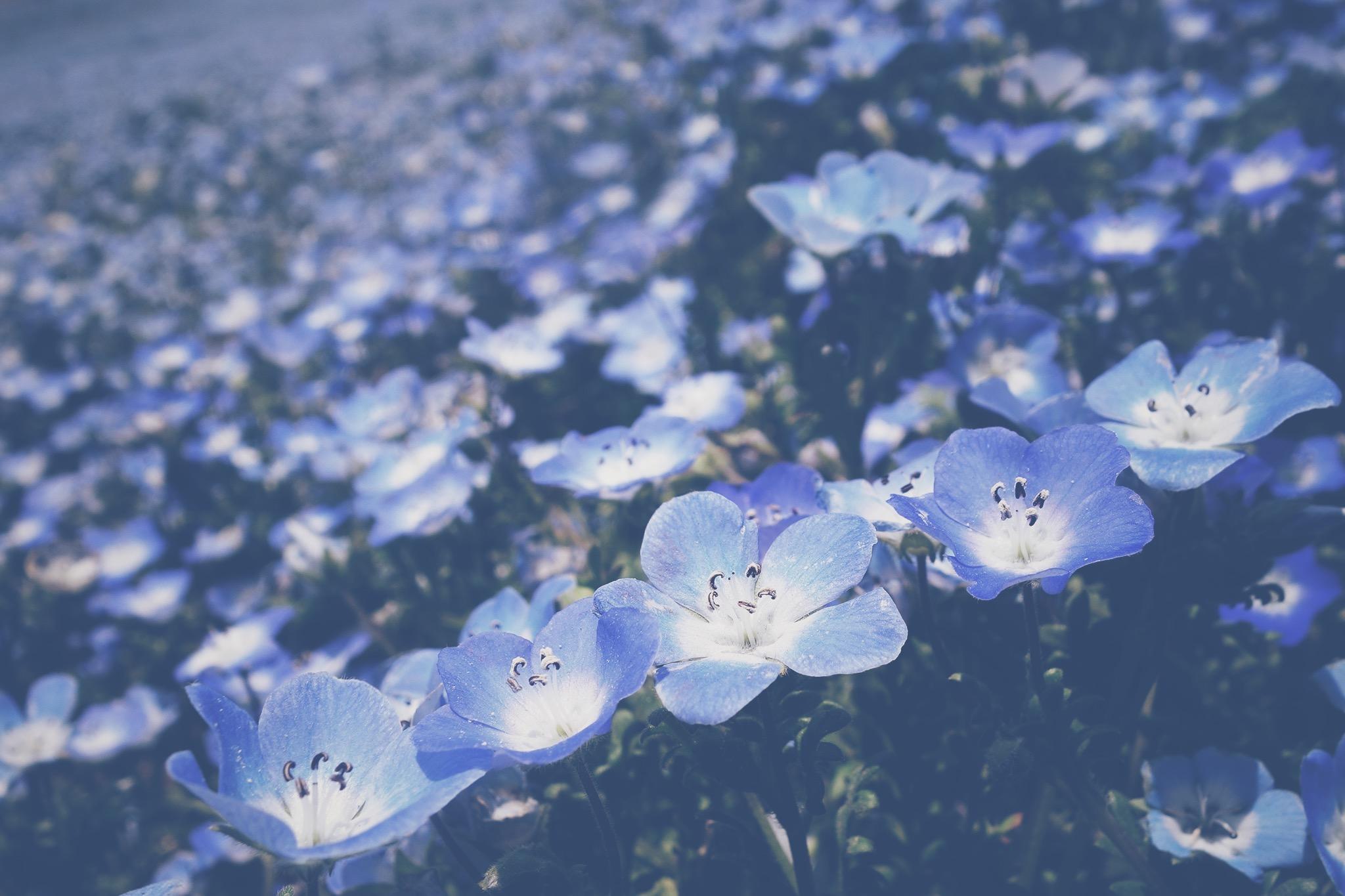 一面の瑠璃色が幻想的なネモフィラの花畑のフリー画像 おしゃれな