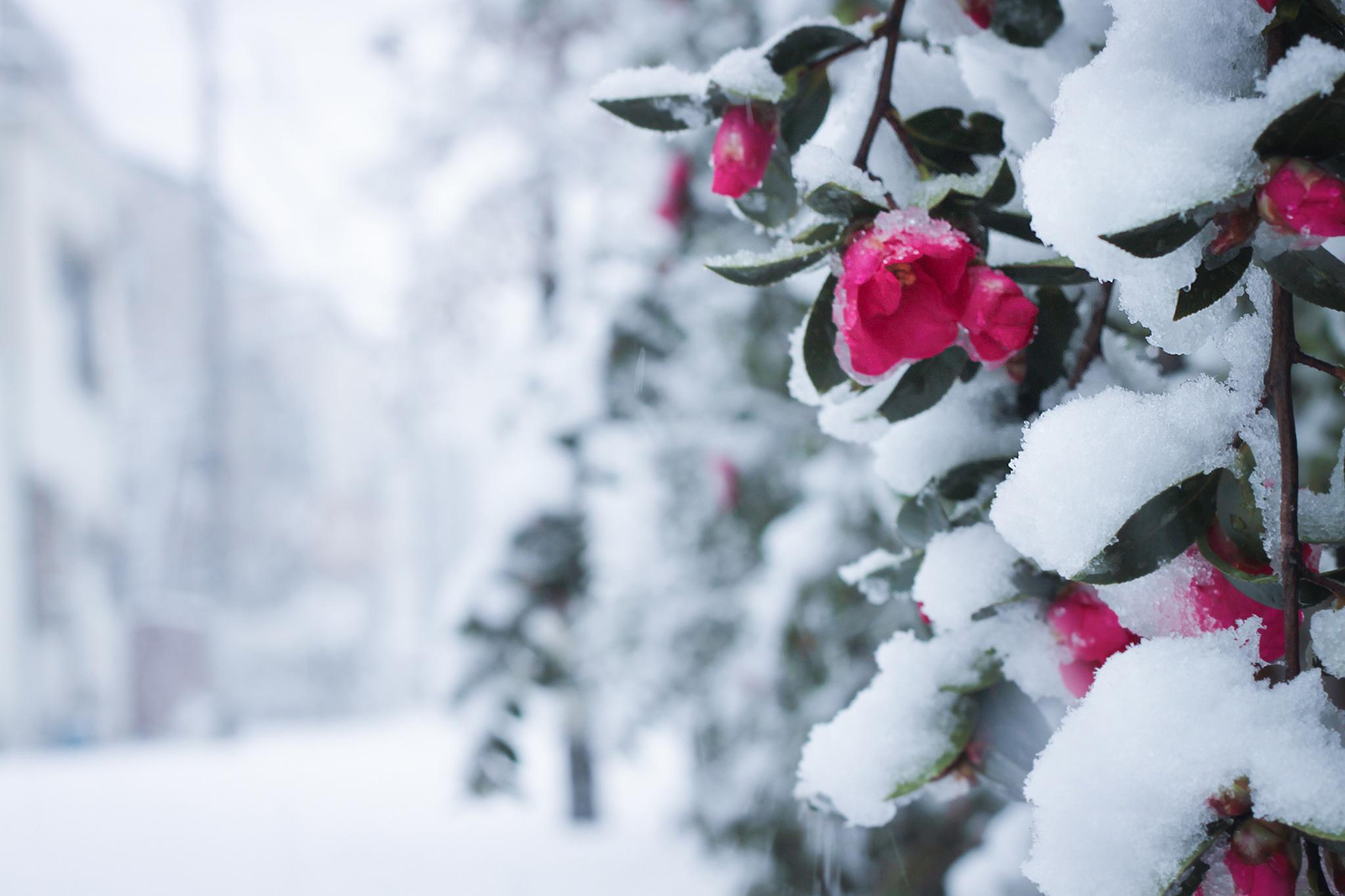 しんしんと雪が降り積もる椿の花のフリー画像|おしゃれなフリー写真素材:GIRLY DROP